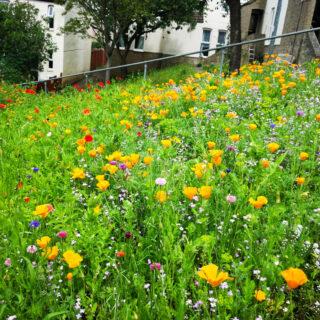 Social Housing Wildflower Meadow